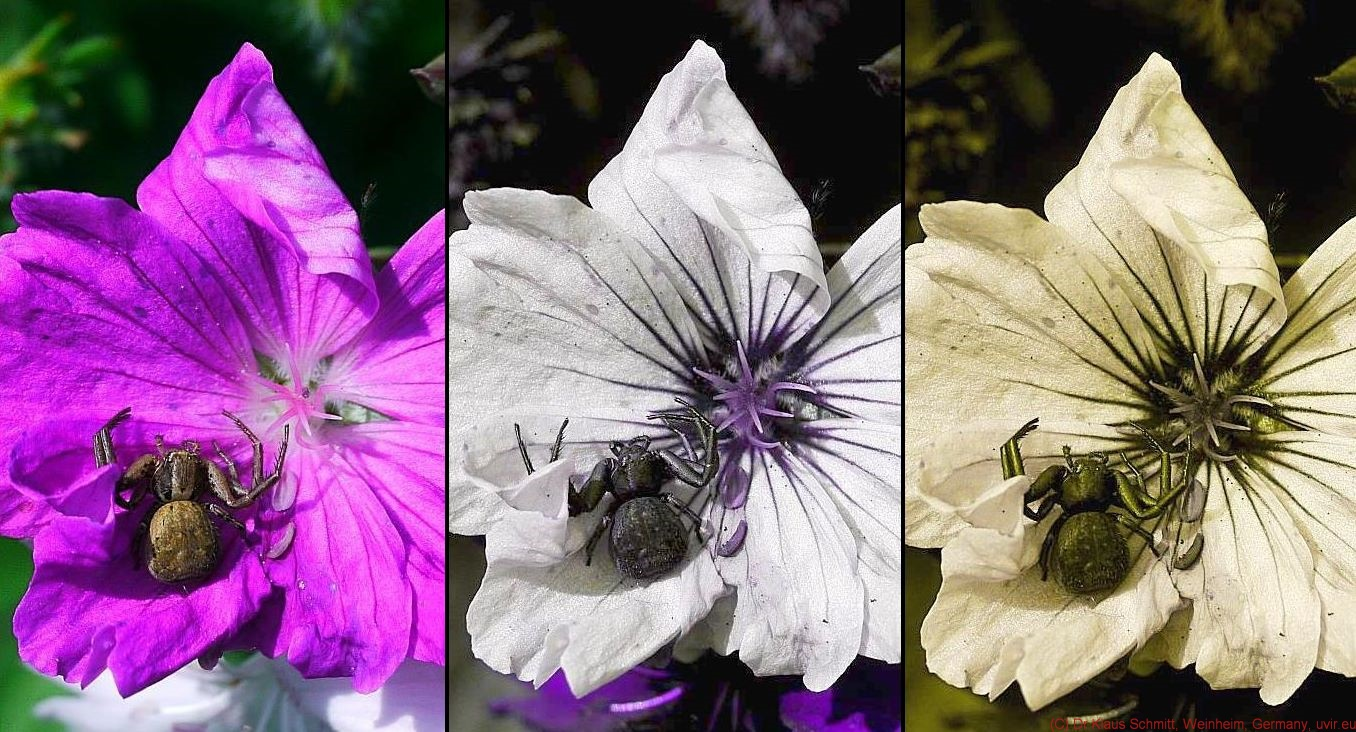 Quite interesting how dark that spider looks like in UV on that flower. I would assume it uses its dark UV pattern to even enhance the attraction of that ...