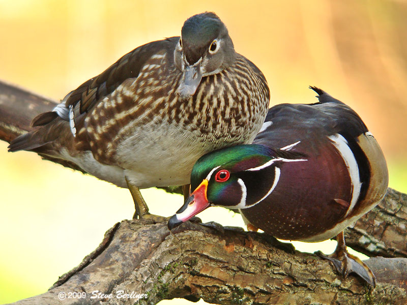 2009; Wood Ducks On Guard