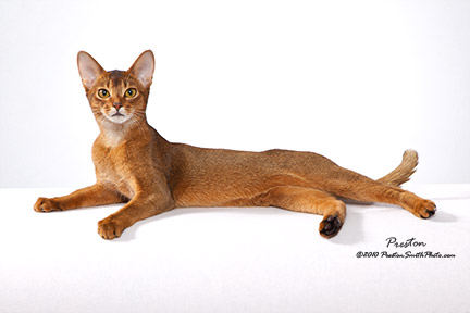 The Abyssinian at Rest