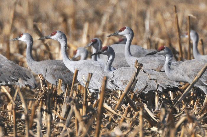 Sandhill Cranes  0309-4j  Othello, WA