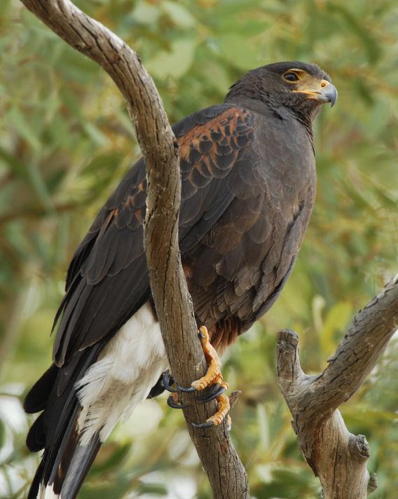 Harriss Hawk  0207-8j  Tucson, AZ