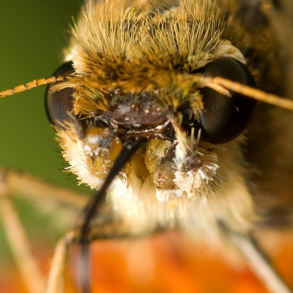 Skipper butterfly mouthparts 5327 (V70)