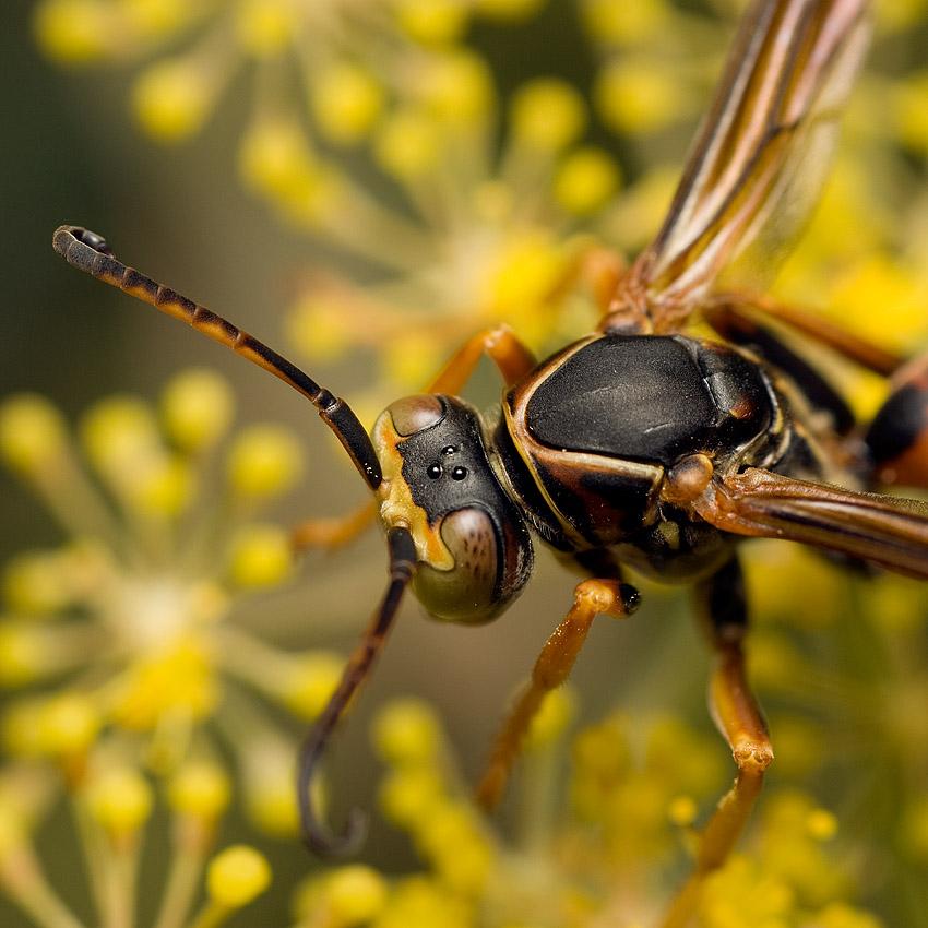 Wasp 5581 (V70)