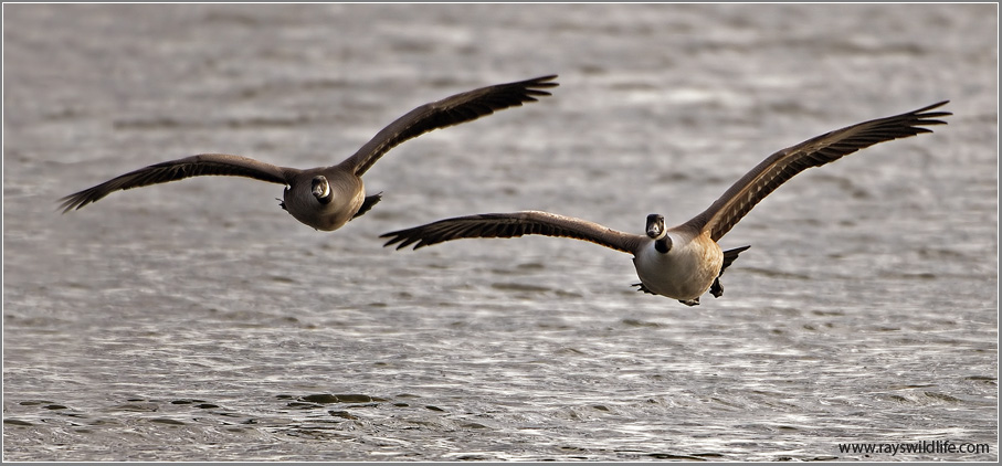 Canada Geese  9