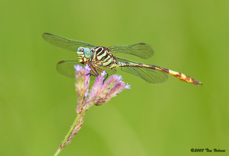 Broad-Striped Forceptail