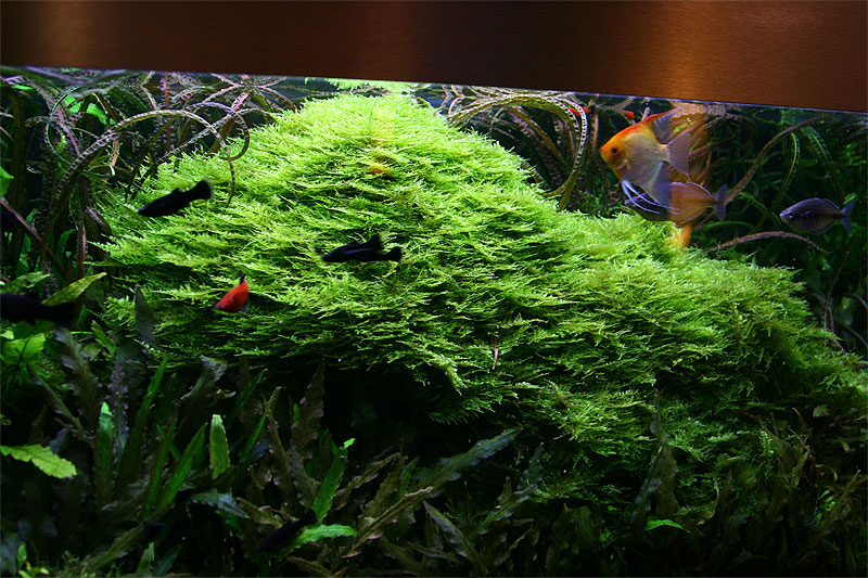 Christmas Moss Carpet.About 5 Years After Set Up Christmas Moss Owergrow The