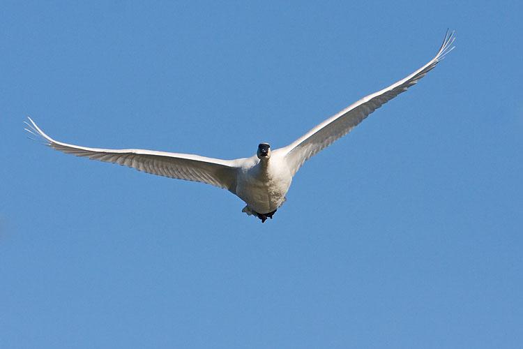 trumpeter swan 101407IMG_6092