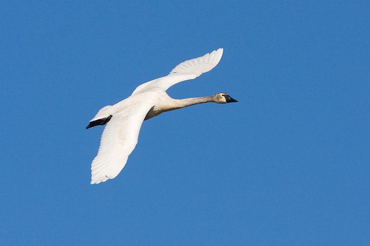 trumpeter swan 101407IMG_6173