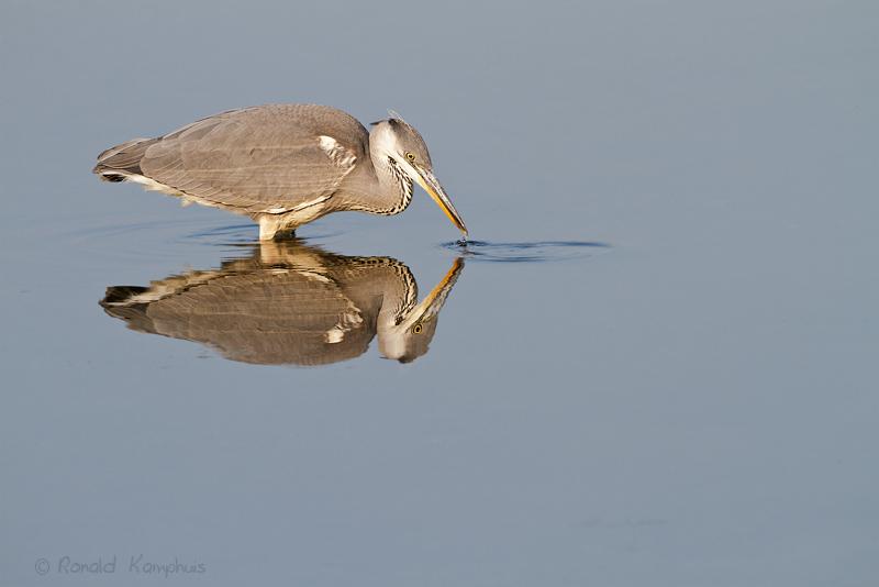 Blue heron - Blauwe reiger