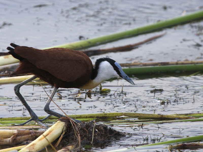 African Jacana, Lake Awassa