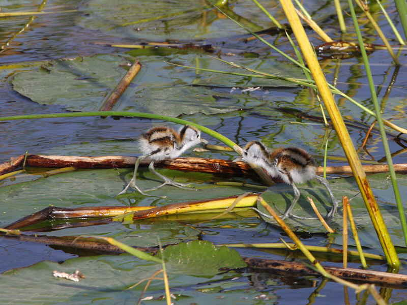 African Jacana chicks, Lake Awassa
