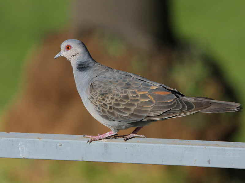 Dusky Turtle-dove, Addis Ababa