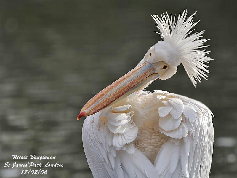 Great-White-Pelican