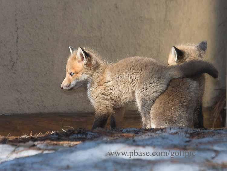 Two fox pups near den