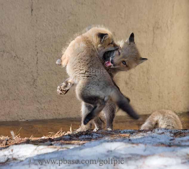 Fox pups playing
