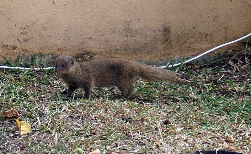 The Mongoose