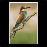 Special: Bee-eater