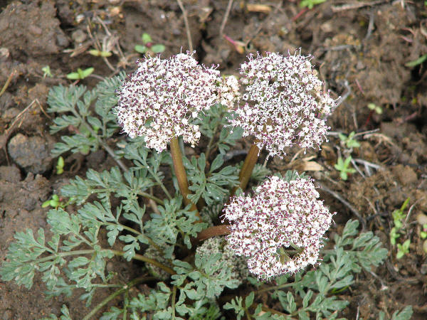 salt and pepper, Lomatium piperi