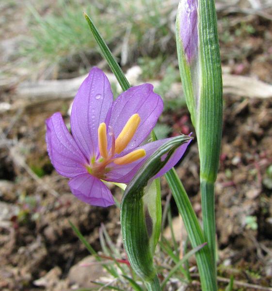 grass widow, Sisyrinchium inflatum