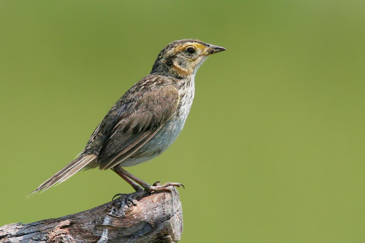Saltmarsh Sharp-Tailed Sparrow <i>Ammodramus Caudacutus</i>