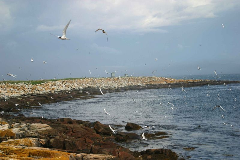 060  ARCTIC AND COMMON TERNS