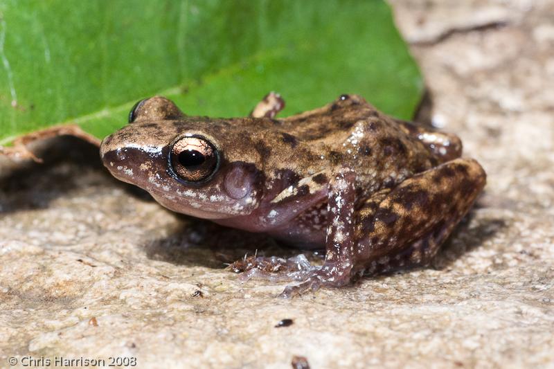 Backyard Frogs field herp forum • view topic - eleutherodactlyus marnockii vs. e