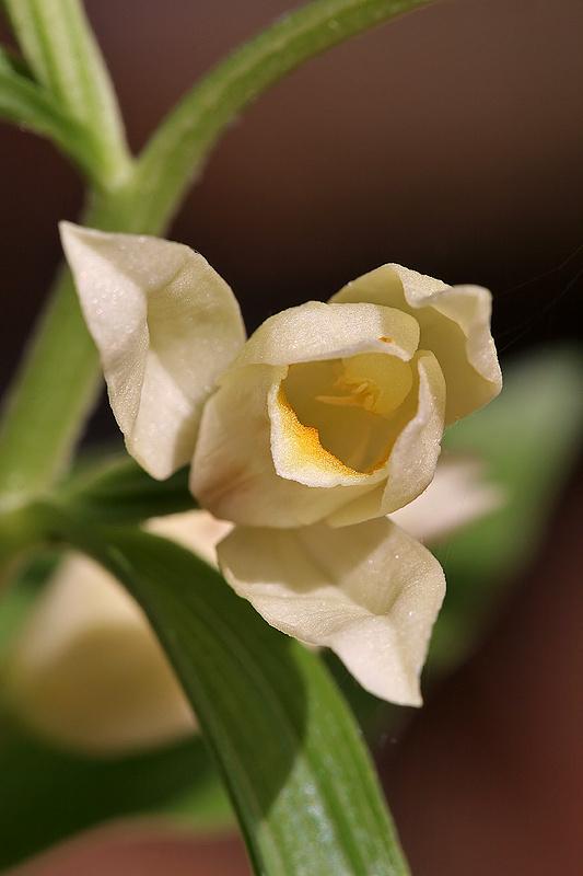 Weißes Waldvögelein <I>(Cephalanthera damasonium)</I>
