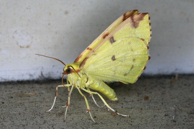 Opisthograptis luteolata <br>Hagedoornvlinder