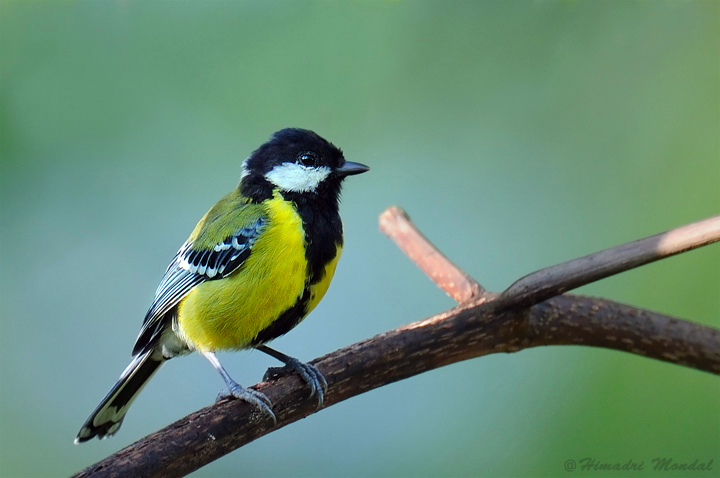 Green Backed Tit