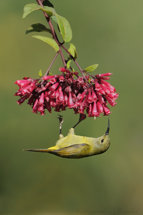 Fire-Tailed Sunbird hanging