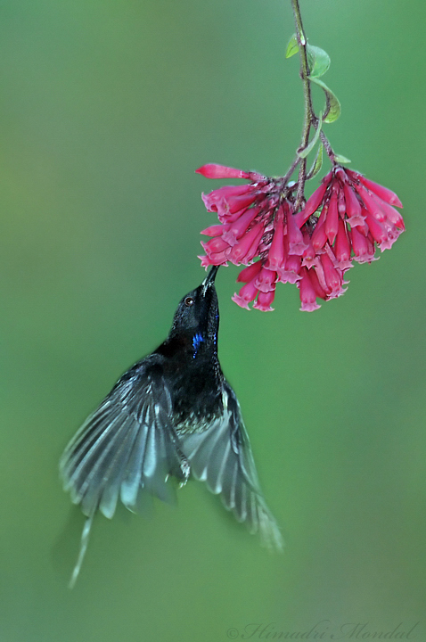 Black-Throated sunbird 2