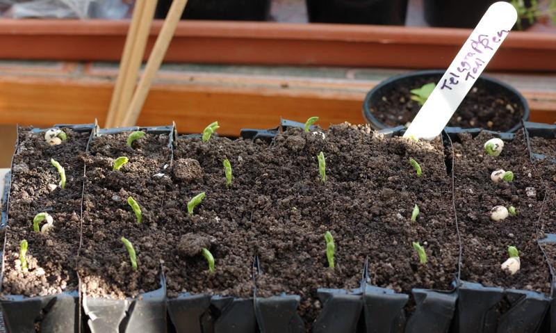 6210 - Telegraph Pea seedlings.jpg