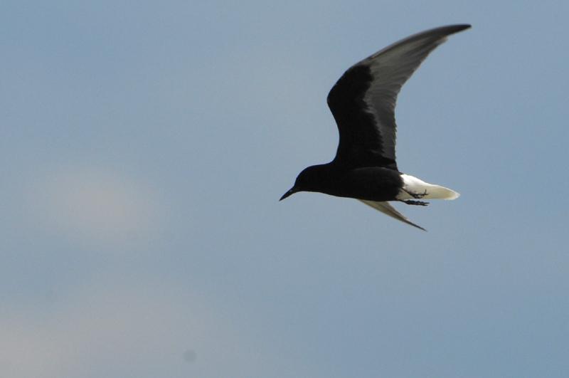 White-winged Tern ( Chlidonias leucopterus )