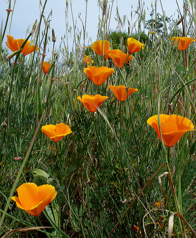 california poppy.jpg