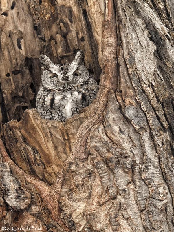 Petit-duc maculé (forme grise) / Eastern Screech-Owl (Gray Morph)