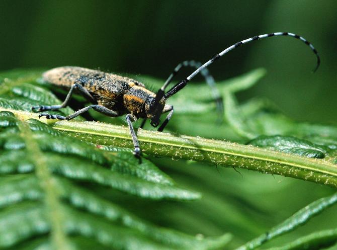 Longhorn Beetle.Agapanthia villosoviridescens .jpg