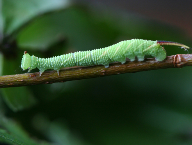 Caterpillar at 2wks