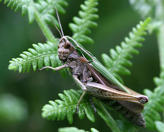Lesser Marsh Grasshopper.