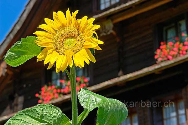 Sonnenblume (77736)