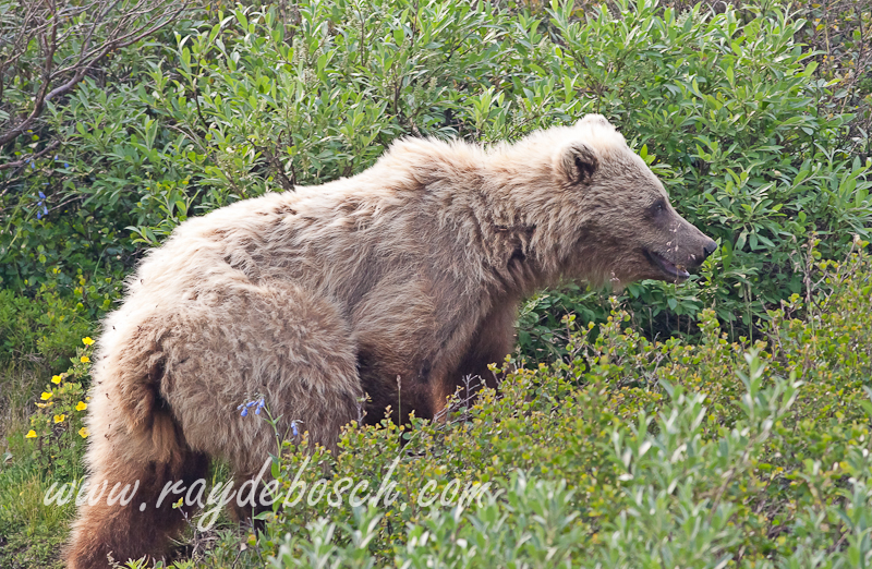 a Denali National Park grizzly resident