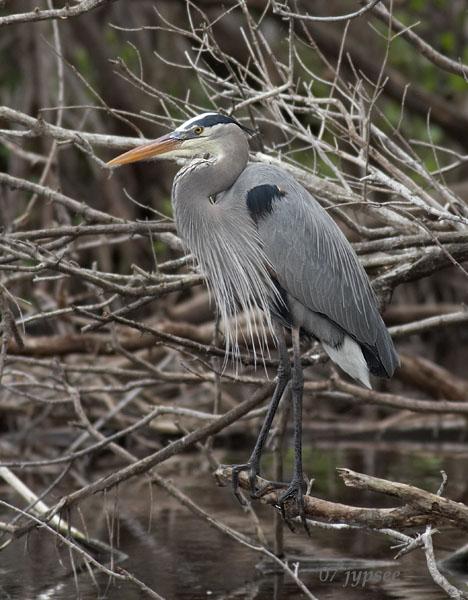 great blue heron posed