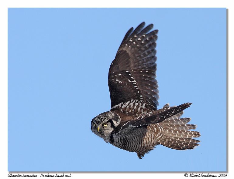 Chouette épervière <br> Northern hawk owl