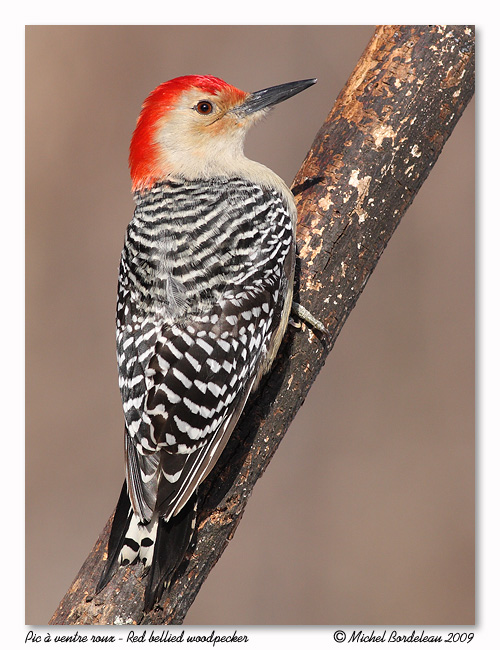 Pic à ventre roux - Red bellied woodpecker
