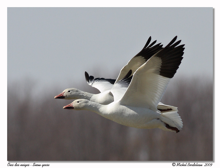 Oies des neiges <br> Snow geese