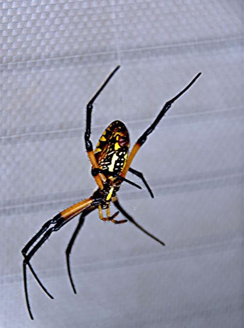 Orb Web Spider 3a.jpg