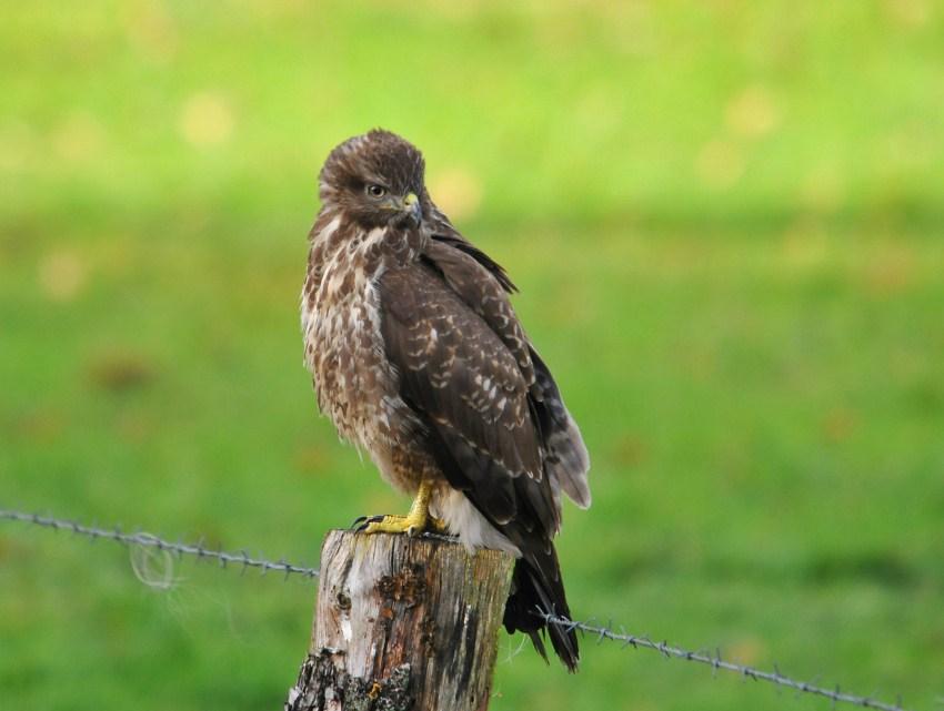 Buizerd / Common Buzzard / Lonnekermeer (Hengelo)