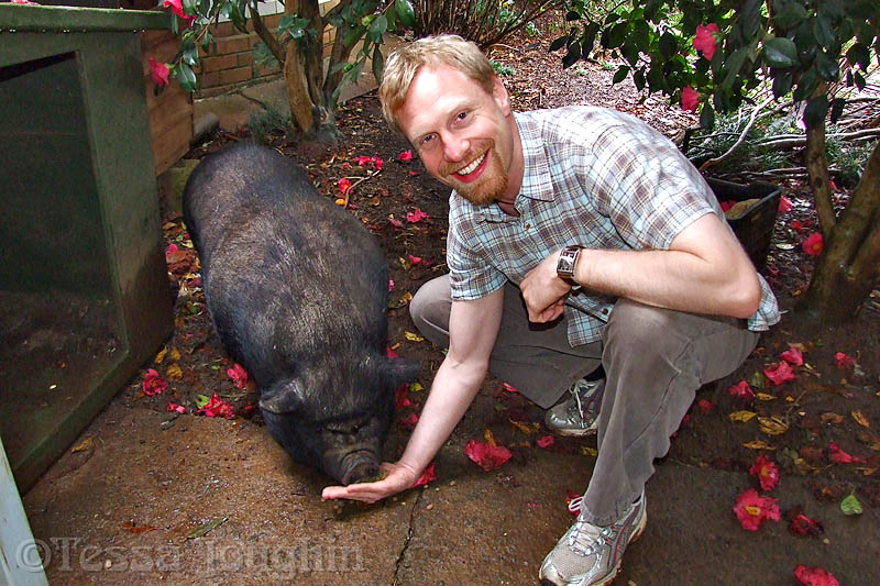 Daniel feeding Chops the pot-bellied pig