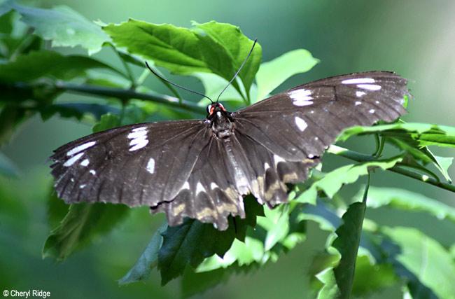 6965- butterfly, batchelor butterfly retreat