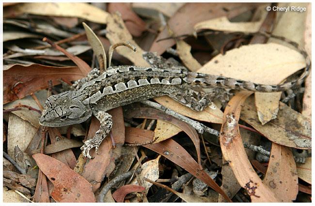 7609- jacky lizard - tree dragon - jacky dragon