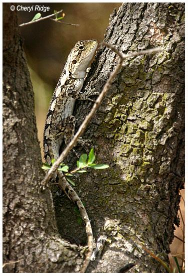 8862 jacky lizard - tree dragon - jacky dragon